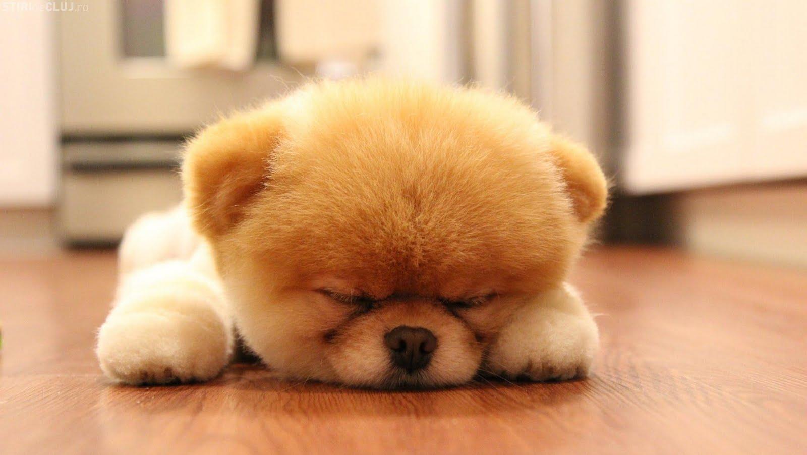 Waga i budowa pieska Boo Adorable Husky Puppy Sleeping
